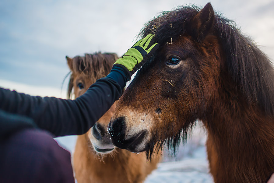 seeing horses in iceland